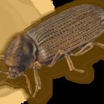 (Anobium Punctatum) Common Furniture Beetle