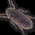 (Xestobium rufovillosum) Deathwatch Beetle